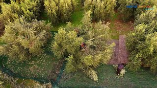 Olive from the harvest to the olive press (drone)