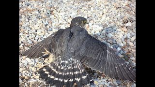 Merlins in falconry