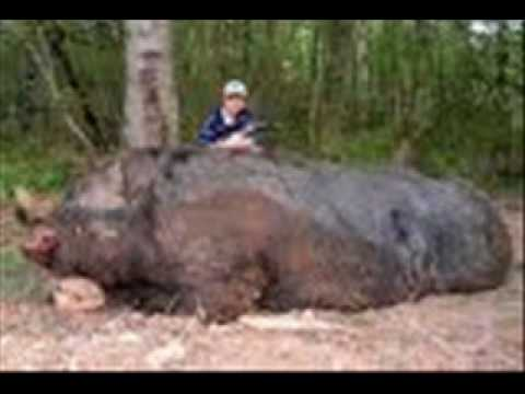 The Biggest Wild Boar Killed In History!!!