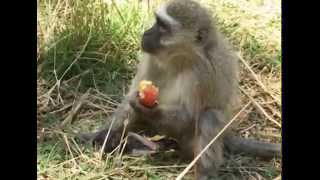 getlinkyoutube.com-Footless Monkey Gives Birth To Stillborn Babies; Then Eventually, A Miracle!