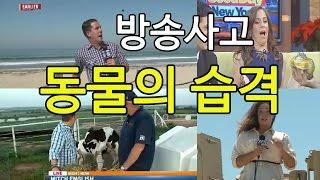 getlinkyoutube.com-[★방송사고] 동물의 습격   Animal News Bloopers 2015