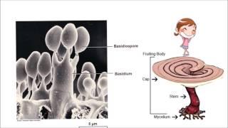 getlinkyoutube.com-อาณาจักรฟังไจ (Kingdom Fungi)