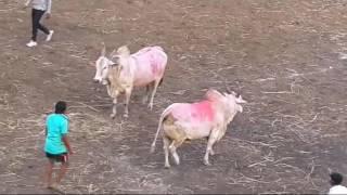 getlinkyoutube.com-Bull fight bhivandi