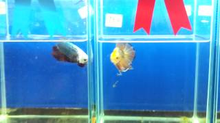 getlinkyoutube.com-ปลากัดยักษ์ รางวัลชนะเลิศ งานประมงน้อมเกล้า 2558 Giant Betta Champion 2015