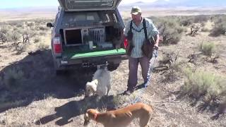 getlinkyoutube.com-Hunting hares with two dogs and an eagle