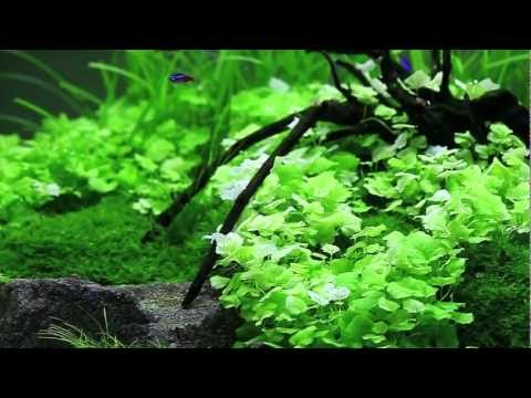 Nathan Hill's planted aquascape