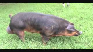 getlinkyoutube.com-Barracos Duroc Puros