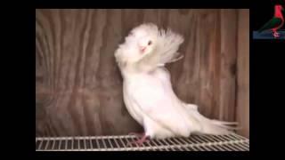 getlinkyoutube.com-Types of pigeons - Part5- انواع الحمام - الجزء الخامس.mpg