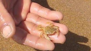 getlinkyoutube.com-✔ طريقة جمع سلطعون الرمل لاسعماله طعم صيد السمك