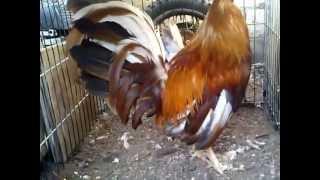 getlinkyoutube.com-gallo semental pura sangre