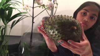 getlinkyoutube.com-فاكهة غوانابانا قاهرة مرض السرطان ..