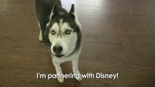 getlinkyoutube.com-Mishka the Talking Husky partners with Disney!