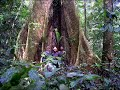 Giant trees in Tropical Rainforest, Cameroon