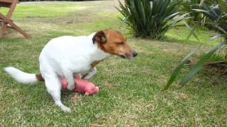 getlinkyoutube.com-Jack Russell Dog Humps Pig