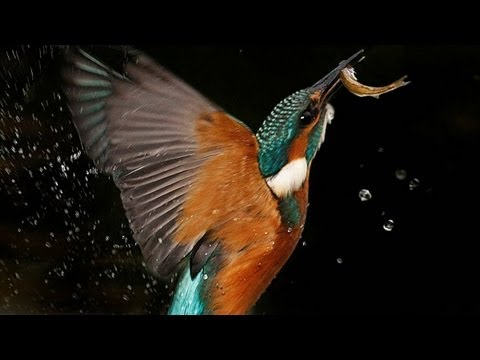 Kingfisher | The Secret Life of the Shannon | RTÉ Goes Wild