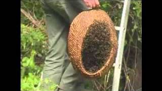 getlinkyoutube.com-Apiculture : l'essaim sauvage
