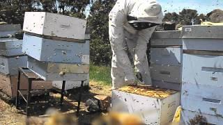 getlinkyoutube.com-Пчеловодство. Нов. Зеландия (осмотр семьи)