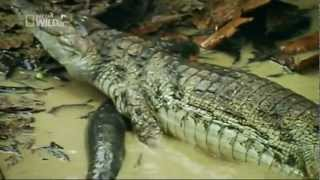 getlinkyoutube.com-Electric fish kills crocodile