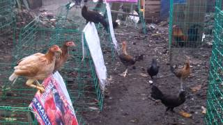 getlinkyoutube.com-Feeding Baby Stags and Baby Pullets