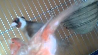 getlinkyoutube.com-Jilguero pisando canaria roja al vueloo!!!