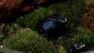 3 Care Tips for Poison Dart Frogs | Pet Reptiles
