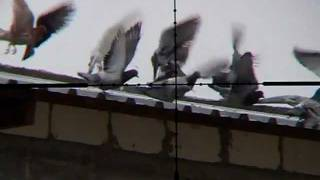 getlinkyoutube.com-Pigeon Hunting 1