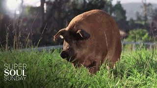 getlinkyoutube.com-A Pig Named Emma, 13 Piglets and 1 Big Miracle | SuperSoul Sunday | Oprah Winfrey Network