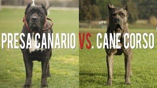 getlinkyoutube.com-PRESA CANARIO VS. CANE CORSO IN A BATTLE OF THE ULTIMATE CATCH DOGS