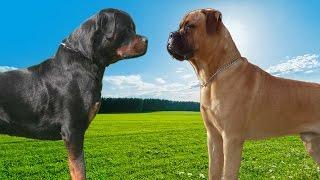 getlinkyoutube.com-Rottweiler VS Bullmastiff   Highlights