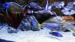 getlinkyoutube.com-Malawi Cichlid Aquarium