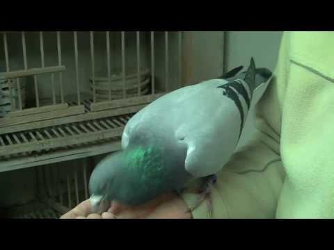 Człowiek i jego pasja-gołębie pocztowe
