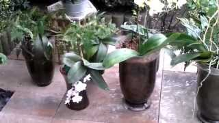 getlinkyoutube.com-Orchid Boy: I clean my orchids in the rain!!!