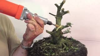 getlinkyoutube.com-Yaupon Holly - Drastic Pruning to Begin Creating a Bonsai