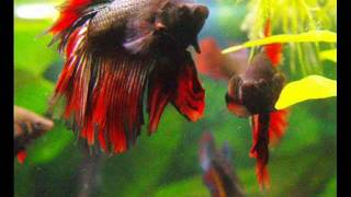 getlinkyoutube.com-Caracteristicas del Betta