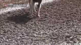 getlinkyoutube.com-[아시아헌터_터키] 호랑이, 늑대 때려잡는 개 보셨나요?