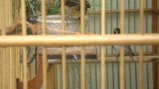 getlinkyoutube.com-casal de coleiro do Wagner de São Vicente-sp fazendo ninho!!!