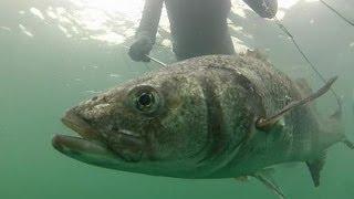 getlinkyoutube.com-4 GROS BARS : 7,5kg - 6,3 - 5,4 et 4,1 - Chasse sous-marine
