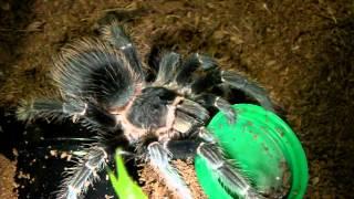 getlinkyoutube.com-Tarantula Feeding Video 29 (Black Camel Spider included!)