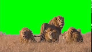 getlinkyoutube.com-Green Screen Lions