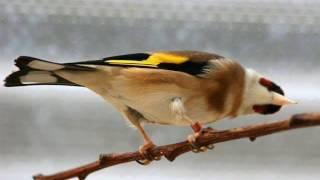 getlinkyoutube.com-ساعة من تغريد الحسون الملكي خالي من الأخطاء روعة لتعليم الفراخ chant de chardonneret royale