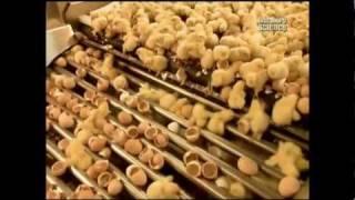 getlinkyoutube.com-Как это сделано - Цыплята