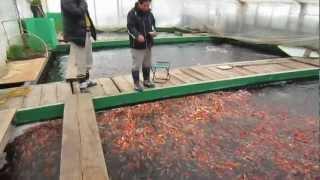 getlinkyoutube.com-Niigata Japan Koi Fish Farm Tour - Breeder: Otsuka Koi Farm
