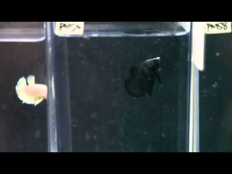 Halfmoon Plakat Males Part 3 - The Betta Shop 3/12/2014