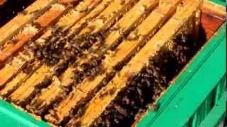 getlinkyoutube.com-Pszczoły. Izolatory Chmary I. Korekta gniazda przed zimowlą