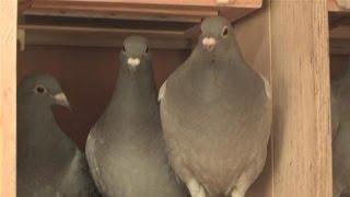 getlinkyoutube.com-How To Race Your Own Pigeons