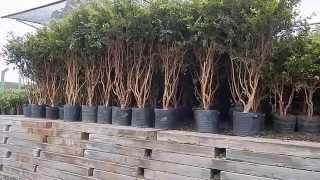 getlinkyoutube.com-Mondini Plantas: Como cultivar Jabuticaba