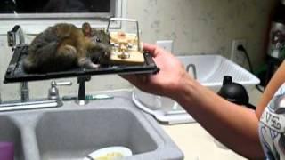 getlinkyoutube.com-Big Rat in Glue Trap