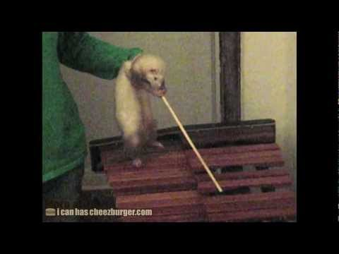 Cheezburger : Ferret Playing the Xylophone