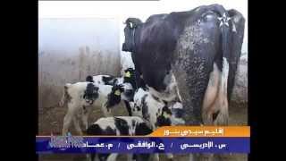 getlinkyoutube.com-في حالة نادرة بقرة تلد خمسة عجول توائم في المغرب