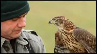 getlinkyoutube.com-Hunting With Falcon & goshawk Video Training - Falcon attack Bird of Prey